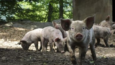 Photo of How To Start A Successful Pig Farming Business